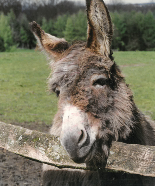 Chester The Donkey
